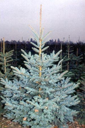 Weihnachtsbaum blautanne